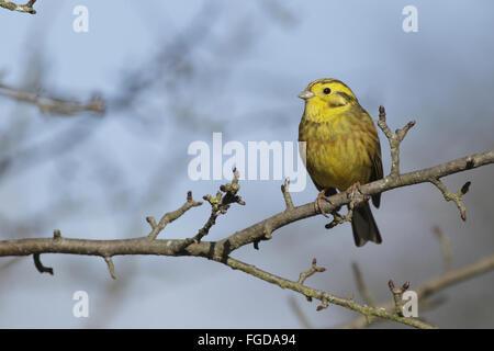 Yellowhammer (Emberiza citrinella) adult male, breeding plumage, perched on Wild Crabapple (Malus sylvestris) twig, - Stock Photo