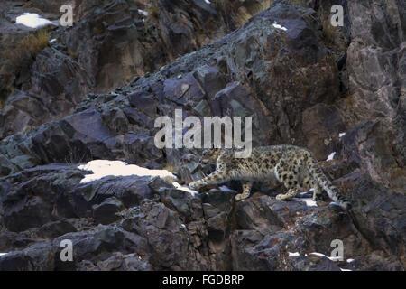 Snow Leopard (Panthera uncia) adult, walking on rocks, Hemis N.P., Ladakh, Jammu and Kashmir, India, February - Stock Photo
