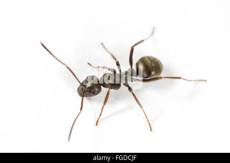 Negro Ant (Formica fusca) adult worker, on white background, Powys, Wales, August Stock Photo