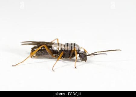 Negro Ant (Formica fusca) adult male, on white background, Powys, Wales, August Stock Photo