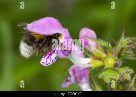 Garden Bumblebee (Bombus hortorum) adult worker, feeding on Hemp-nettle (Galeopsis sp.) flower, Ariege Pyrenees, - Stock Photo