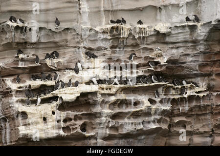 Common Guillemot (Uria aalge) colony, nesting on cliff ledges, Noss, Shetland Islands, Scotland, July - Stock Photo