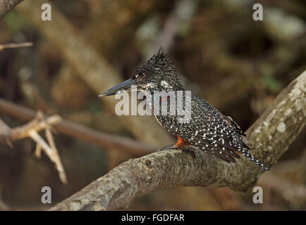 Giant Kingfisher (Megaceryle maxima maxima) adult female, perched on branch, iSimangaliso Wetland Park (Greater - Stock Photo