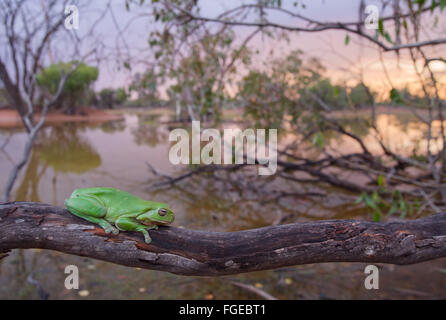 Australian Green Tree Frog (Litoria caerulea) on a branch, with a wetland in the background, Queensland, Australia - Stock Photo