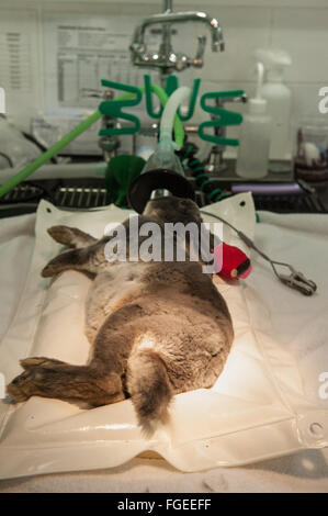 Rabbit Care post surgery - Stock Photo