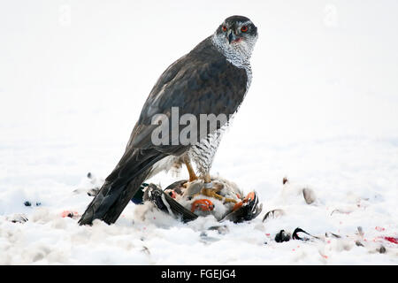 Northern goshawk eating mallard. - Stock Photo