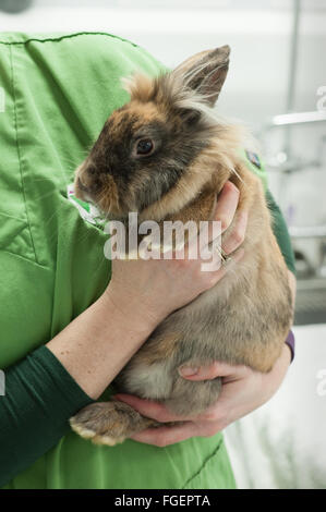 Holding a rabbit properly - Stock Photo