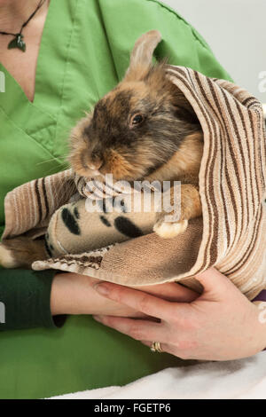 Rabbit recovering post surgery - Stock Photo