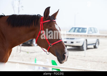 Endurance racing horse in the stabling area at CHI Al Shaqab 2014 - Stock Photo