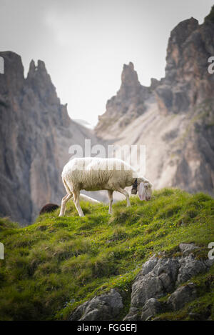 A sheep grazes on the Erlalm alpine pasture in front of rugged cliffs in the Karwendel mountains, Tirol, Austria - Stock Photo