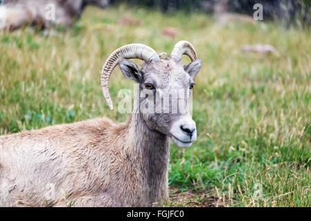Closeup view of a female Bighorn Sheep, known as an Ewe - Stock Photo
