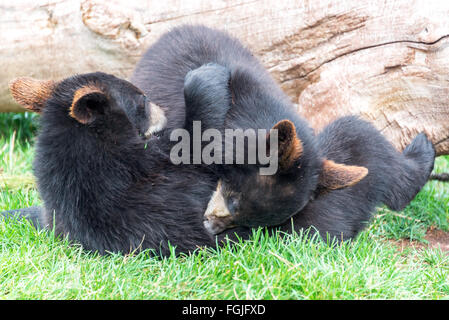 Playful black bear cubs - Stock Photo