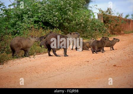 Capybara, family with youngs on shore, Pantanal, Mato Grosso, Brazil, South America / (Hydrochoerus hydrochaeris) - Stock Photo