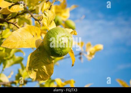 Unripened lemon on a branch - Stock Photo