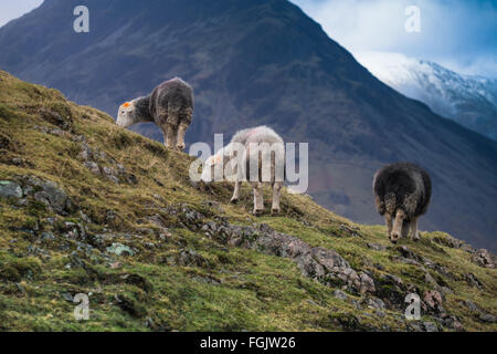 Herdwick sheep on the high fells, Wastwater Cumbria English Lake District - Stock Photo