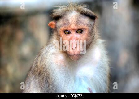 Monkey in the Periyar National Park, Thekkady, Kerala, India - Stock Photo