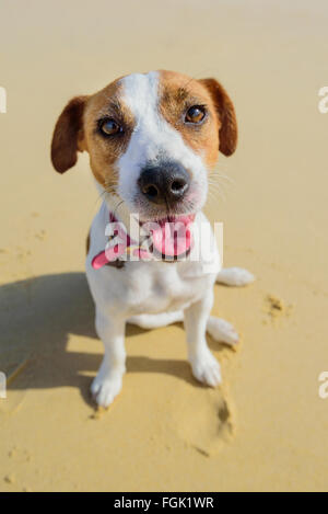 Portrait of a tan and white dog smiling on the beach - Stock Photo