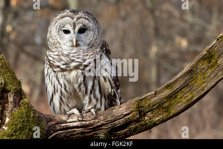 Barred owl sits on a mossy branch in the northern Michigan woods - Stock Photo