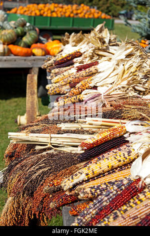 Dried Indian corn sits on a wagon in autumn. A wagon full of pumpkins is in the background at this road side farmers - Stock Photo