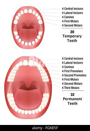 Temporary Teeth - Permanent Teeth - Number of milk teeth and adult teeth. Illustration on white background. - Stock Photo