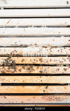 Dead honeybee colony inside beehive where rain water has penetrated the hive (the frames that are a darker colour - Stock Photo