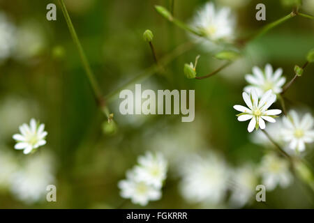 Lesser stitchwort (Stellaria graminea). A white plant in the family Caryophyllaceae, flowering in an English woodland - Stock Photo