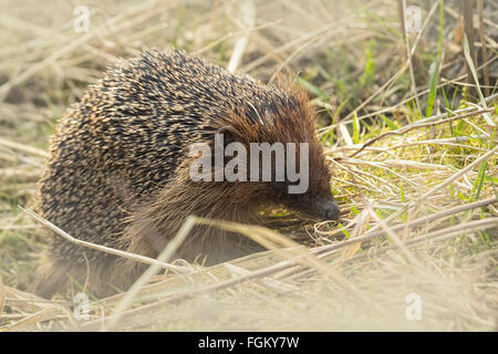 Hedgehog in a meadow in search for food in wintertime - Stock Photo