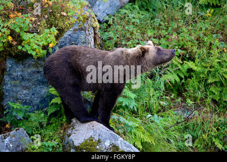 Grizzly Bear balancing on rock in Redoubt Bay, Alaska - Stock Photo