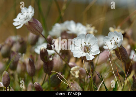 Sea campion (Silene vulgaris) in flower. A delicate flower in the family Caryophyllaceae, seen from a low angle - Stock Photo