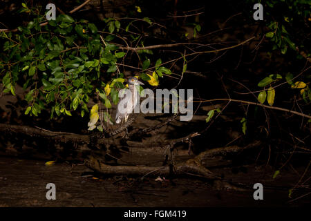 Immature Yellow-crowned Night-Heron, Nyctanassa violacea, in the mangrove forest beside Rio Grande, Cocle province, - Stock Photo