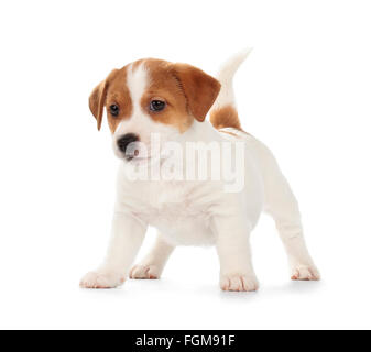 Playful Jack Russell Terrier puppy isolated on white background. Front view, standing, playing. - Stock Photo