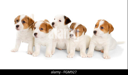 Five Jack Russell Terrier puppies isolated on white background. Front view, sitting. - Stock Photo