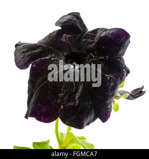 blooming dark petunia flower is isolated on white background - Stock Photo