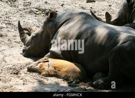 Southern white rhino (Ceratotherium simum) taking a nap with his close friend, an African Red river hog  (Potamochoerus - Stock Photo