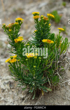 Golden samphire (Inula crithmoides). A yellow coastal flower in the daisy family (Asteraceae) - Stock Photo