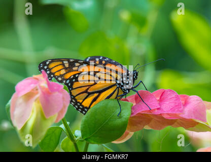Monarch Butterfly Danaus plexippus at The Butterfly Estates in Fort Myers Florida - Stock Photo