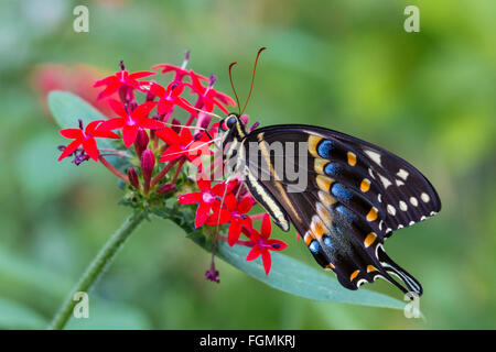 Eastern Black Swallowtail butterfly Papilio polyxenes at The Butterfly Estates in Fort Myers Florida - Stock Photo