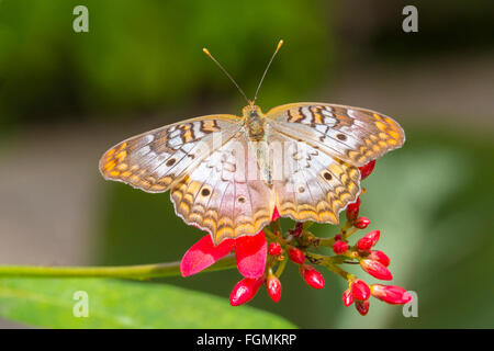 White Peacock butterfly  Anartia jatrophae on a flower at The Butterfly Estates in Fort Myers Florida - Stock Photo