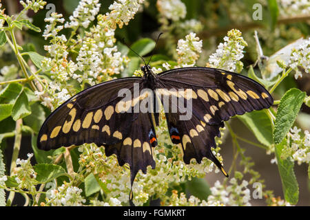 Giant Swallowtail butterfly  Papilio cresphontes at The Butterfly Estates in Fort Myers Florida
