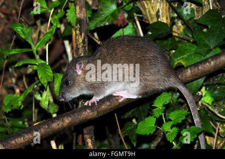 A common brown rat running around a hedge UK - Stock Photo