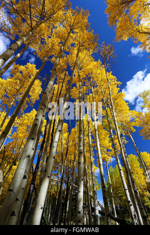 Yellow Aspen leaves in Colorado with blue sky in autumn - Stock Photo