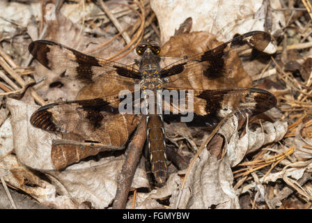 Female twelve-spotted skimmer dragonfly, Libellula pulchella, perched on dried leaves on the forest floor. - Stock Photo