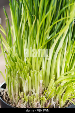 Fresh harvested Chives Plant (detailed close-up shot) - Stock Photo