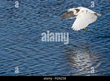 Little egret, Egretta garzetta, in flight over lagoon, Quinta de Marim, Natural Park Ria Formosa, Algarve, Portugal - Stock Photo
