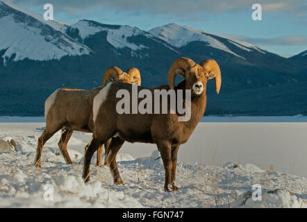 Rocky Mountain bighorn sheep (Ovis canadensis) Rams in winter, Banff National Park, Alberta, Canada - Stock Photo