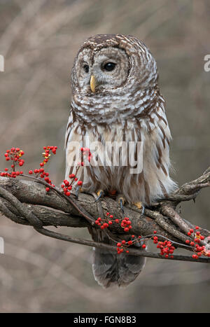 Barred Owl (Strix varia) sitting on branch of tree, with Bittersweet berries ((Celastrus scandens), Winter, Michigan - Stock Photo