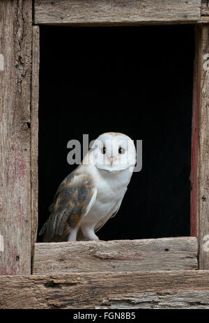 Barn owl (Tyto alba) sitting on barn window sill, Eastern USA - Stock Photo