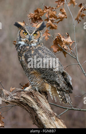 Great Horned Owl Bubo virginianus perched on tree stump, Eastern North America - Stock Photo