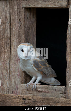 Barn owl (Tyto alba) sitting on barn window sill, Eastern USA - Stock Photo