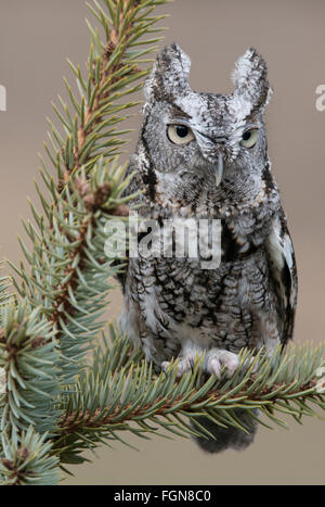Eastern Gray Screech Owl Otus asio, gray phase, sitting on Spruce tree, Eastern North America - Stock Photo